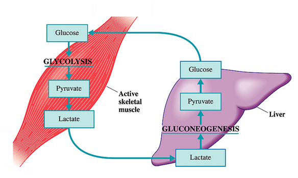 Lactate Recycle Model
